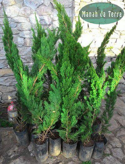 Kaizuka - 1 Muda - Cultivo Livre De Agrotóxicos
