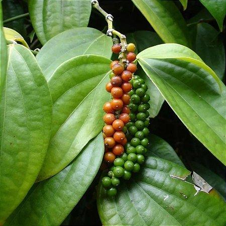 Pimenta-do-reino - 1 Muda Livre De Agrotóxicos!