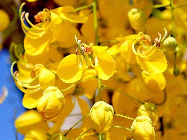 Acácia Amarela - Chuva De Ouro - 1 Muda Jovem