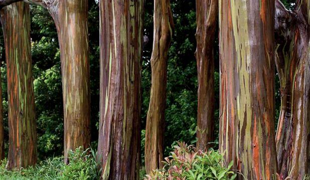 Eucalipto Arco-iris - 1 Muda  - Lindissima!