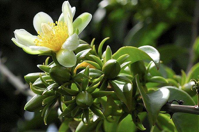 Ora-pro-nóbis - 1 Muda - Cultivo Livre De Agrotóxicos