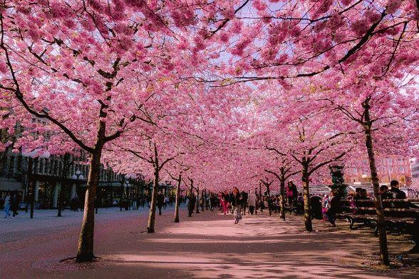 Cerejeira Sakura Okinawa - 1 Muda Com 60m de altura