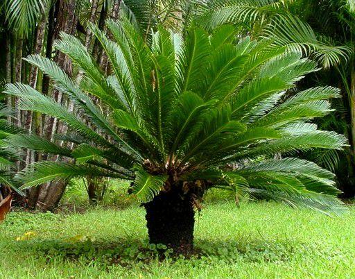 Cica / Sagu-de-jardim / Cycas revoluta - Muda De 60cm