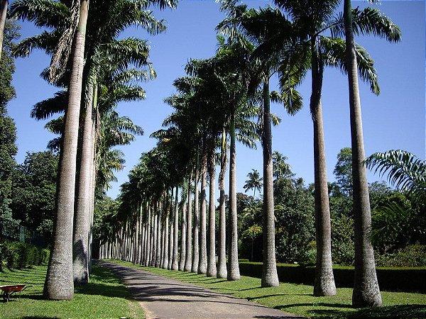 Palmeira Imperial - 1 Muda De 1 Metro
