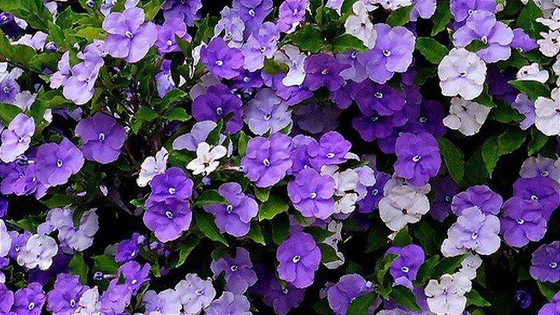Manacá de cheiro - 1 Muda ornamental - Já florindo
