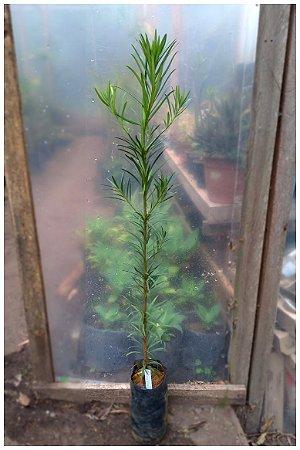 Podocarpus - 1 Muda Para Cerca Viva - 70cm