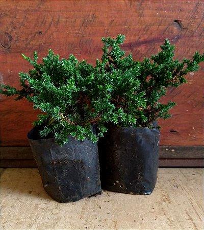 Tuia Jacaré- 2 Mudas Ornamentais Pequenas