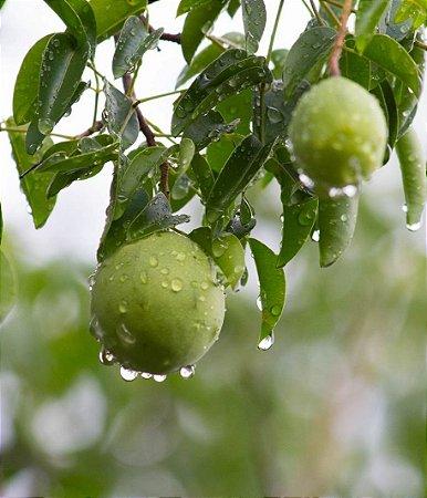 Umbu - 1 Muda de estaquia - Cultivo Livre De Agrotóxicos!