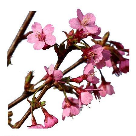 Cerejeira - Prunus Kursar - 1 Muda Enxertada
