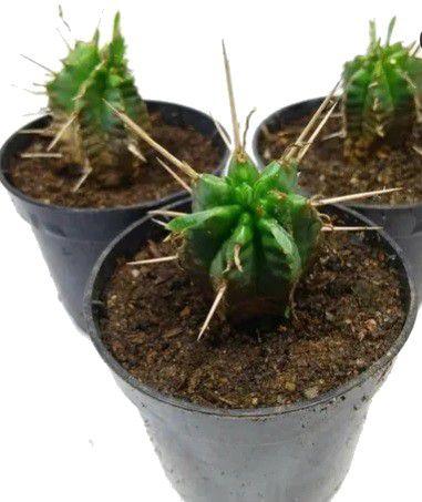 Cacto Euphorbia - Enopla - Heptagona - 1 Muda Vaso Nº 9