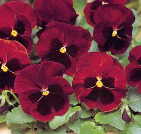 Amor-Perfeito Gigante Suiço Purpura - 85 Sementes - Isla