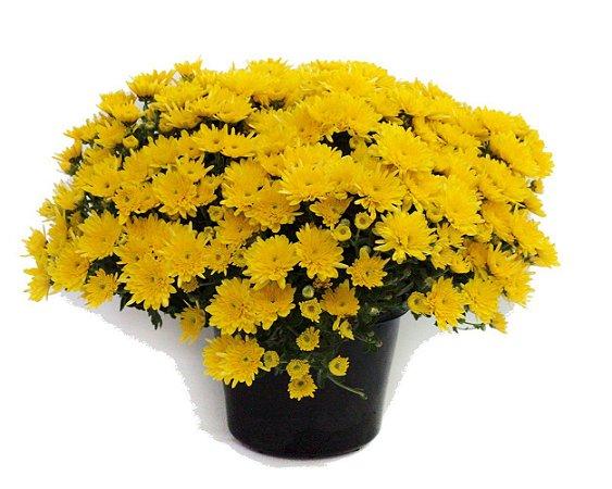 Crisantemo Dobrado Sortido - 186 Sementes - Isla