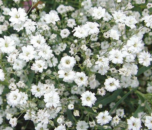 Gypsophila Elegans / Mosquitinho Branco - 360 Sementes - Isla