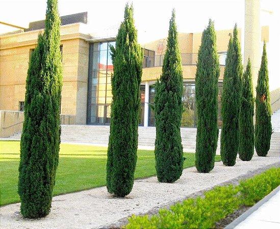 Cipreste italiano- muda com aproximadamente 80cm