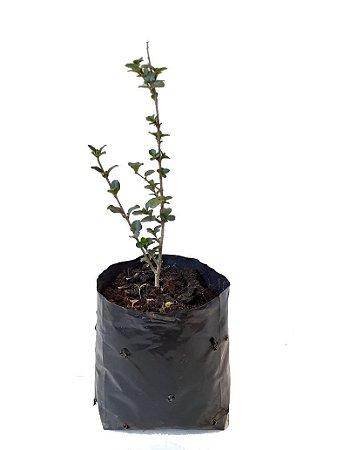 Veú de Noiva - 1 muda 20 centímetros - Cultivo Livre de Agrotóxico