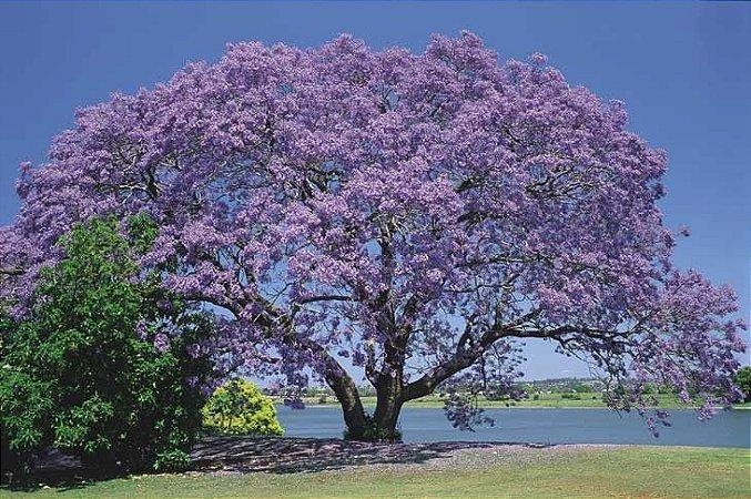 Jacarandá Mimoso - 1 Muda Média (130cm De Altura)