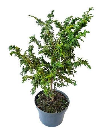 Tuia Polvo - 1 Muda Ornamental (p/ Vaso, Bonsai Ou Jardim)