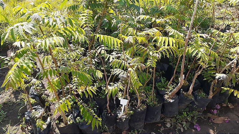 Cedro - 1 Muda - Cultivo Livre De Agrotóxicos!