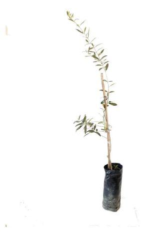 Oliveira Koroneike - 1 Muda - Livre De Agrotóxico!