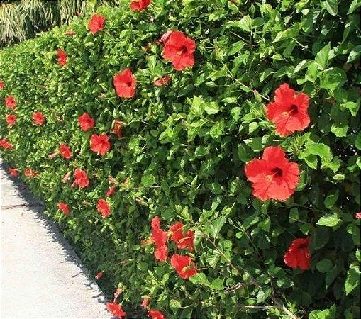 Hibisco Vermelho Flor Pequena - Mudas De 1 Metro!