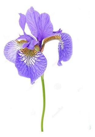 Iris Azul - 1 Muda Adulta