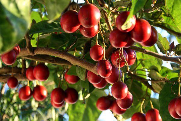 Tamarillo (Tomate De Árvore) - 30 Sementes + Brinde - Frete Grátis