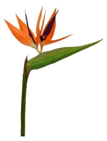 Estrelicia (ave Do Paraiso) - 1 Muda Ornamental - Jardim