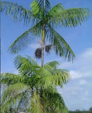 Palmeira Jussara - 1 Muda - Cultivo Sem Agrotóxico!