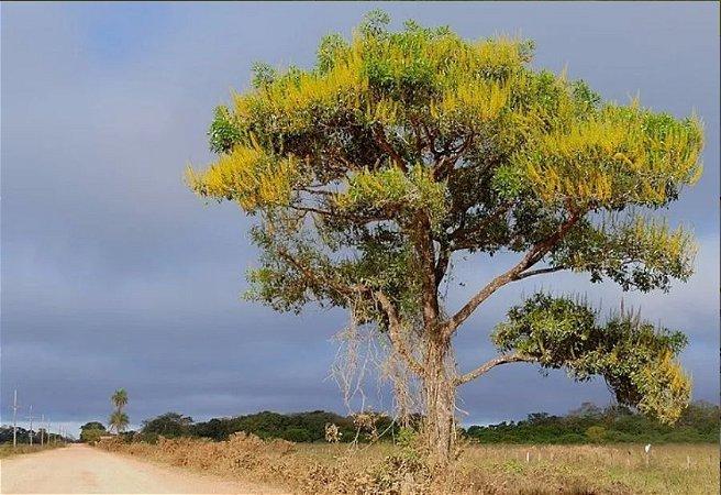 Candeia Amarela - 1 Muda - Cultivo Livre De Agrotóxico!