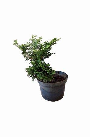 Tuia Nana - 1 muda - P/ vaso, Bonsai e Jardim.