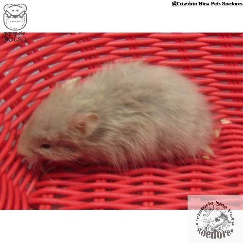 Hamster Sírio Angorá