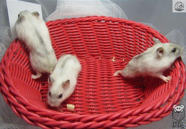 Hamster Anão Russo Pearl