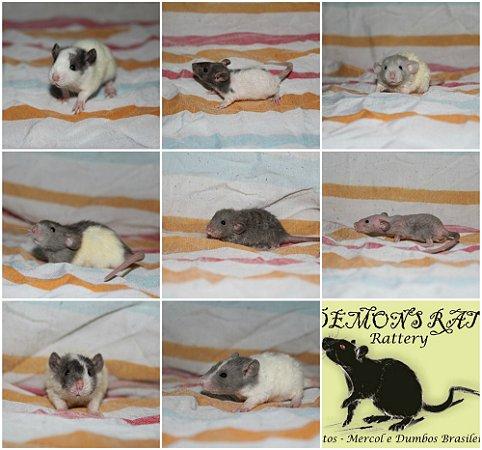 Filhotes Demon's Rats