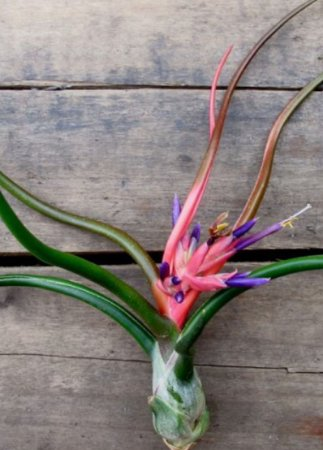 Tillandsia bulbosa (Air Plant)