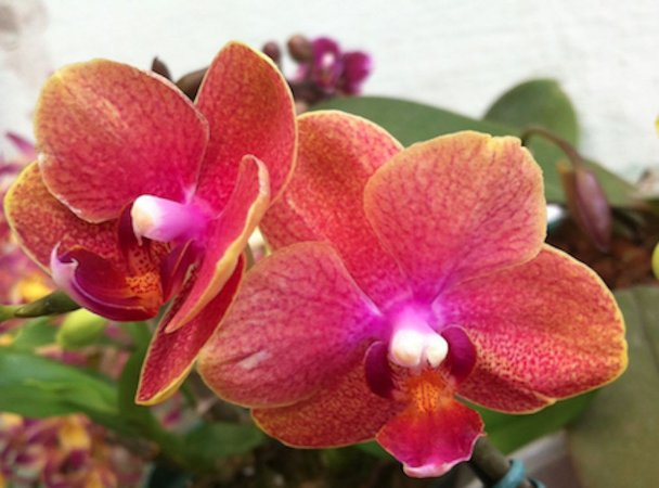 Phalaenopsis Orange Love