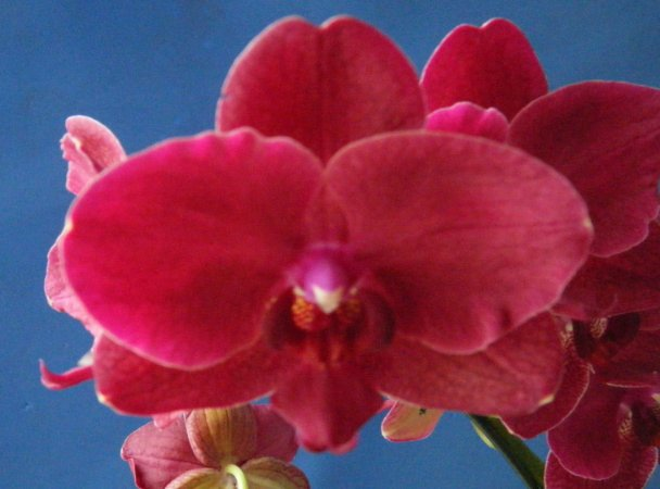 "Phalaenopsis Van Der Holland ""Red"""