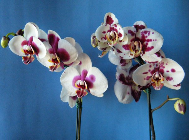 Phalaenopsis Happy King Panda