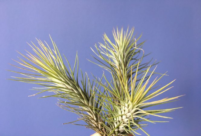 Tillandsia funkeana Var. Recurvifolia (Air Plant)