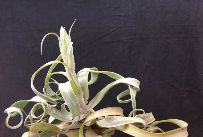 Tillandsia streptophylla (air Plant)
