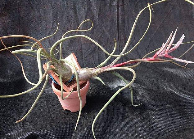 Tillandsia pseudobaileyi (Air Plant)