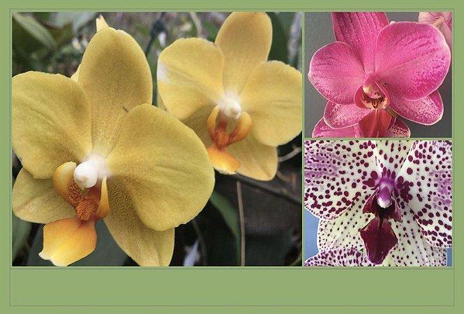 Pacote Promo #04  (Phalaenopsis Adultas)