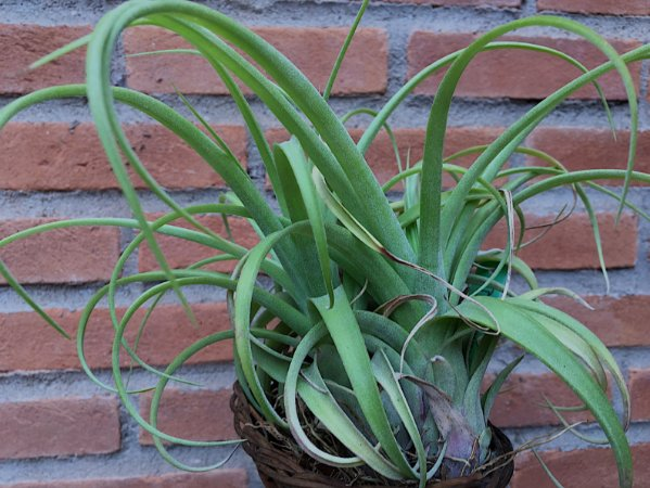 Tillandsia streptophylla x brachycaulos (Air Plant)