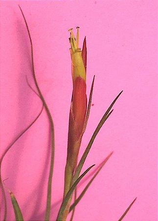 Tillandsia schiedeana (Air Plant)