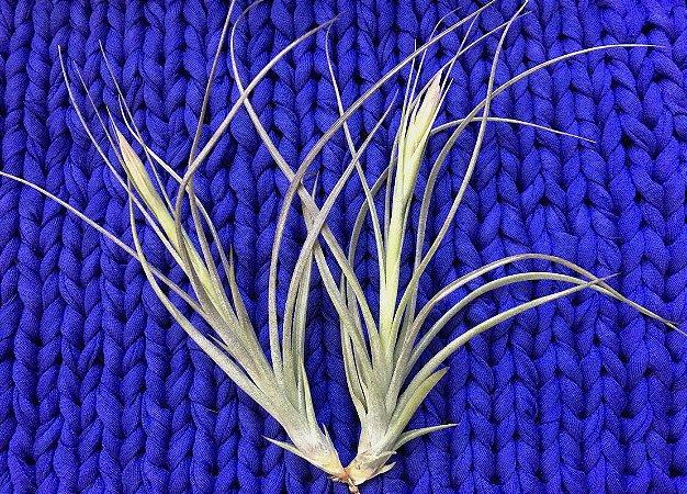 Tillandsia schiediana x Baileyii (Air Plant)