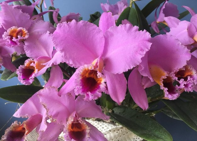Cattleya percivaliana 'Thiago' x Self