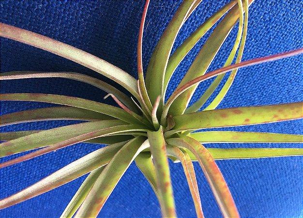 Tillandsia brachycaulus Var Multiflora (Air Plant)