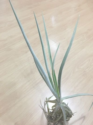 Tillandsia durati (Air Plant)