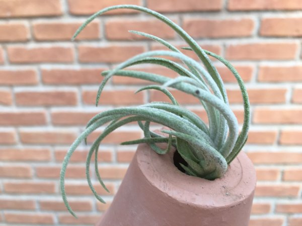 Tillandsia arroyoensis (Air Plant)