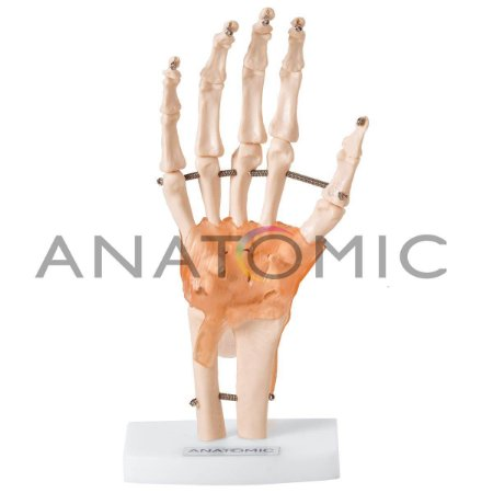 Modelo Articulação da Mão Com Ligamentos TGD-0162C