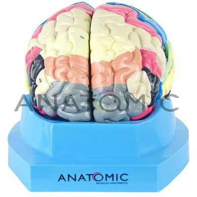 Cérebro com Região Funcional de Córtex em 2 Partes - TZJ-0303-F